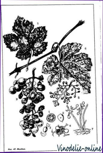 Инфекционные болезни винограда