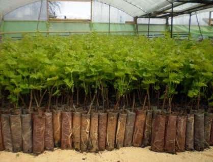 Размножение винограда в питомнике