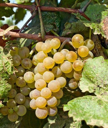 Виноград «Алиготе»