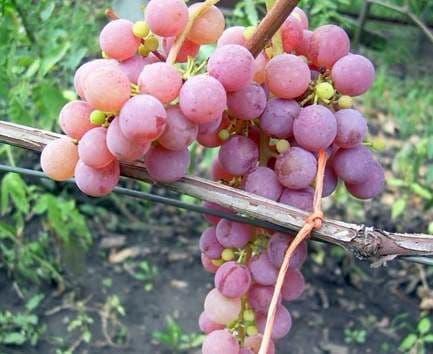 Виноград «Рилайнс»