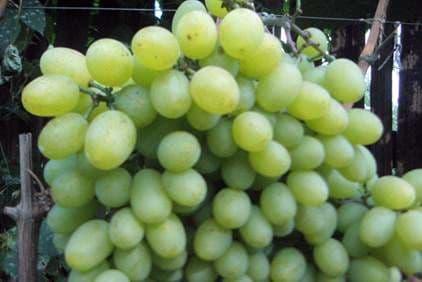 Виноград «Подарок Запорожью»
