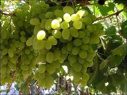 Виноград «Талисман»