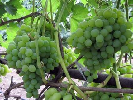 Виноград «Плевен»