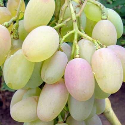 Виноград «Денал»