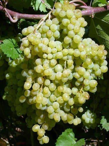 Виноград «Русбол»