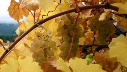 Виноград «Ркацители»