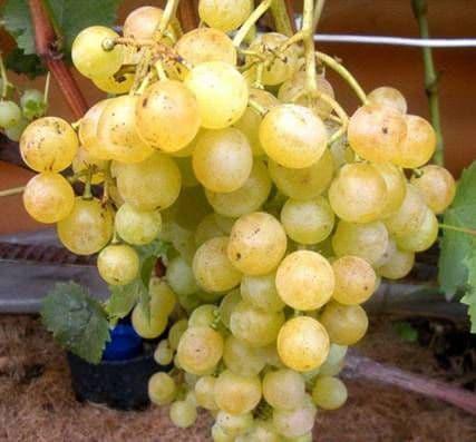 Виноград «Тукай»