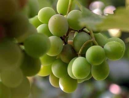 Виноград «Мускат янтарный»