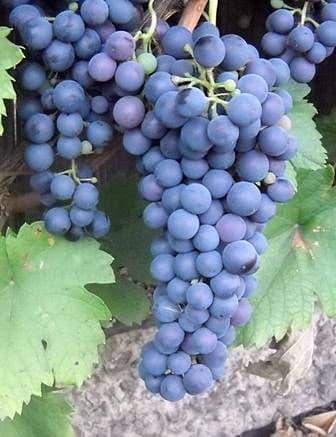 Виноград «Саперави северный»