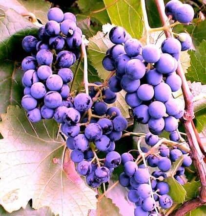 Виноград «Фиолетовый ранний»