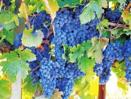 Виноград «Каберне Совиньон»
