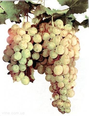 Виноград «Нимранг»