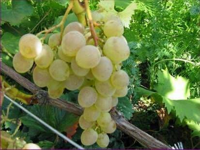 Виноград «Надежда»