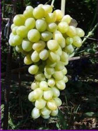 Виноград «Деметра»