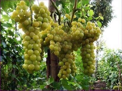Виноград «Болгария устойчивая»