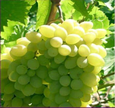 Виноград «Ляна»