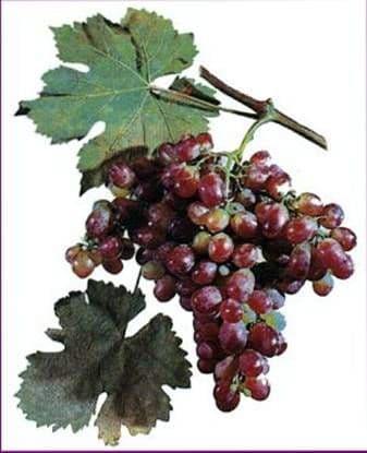 Виноград «Тайфи розовый»
