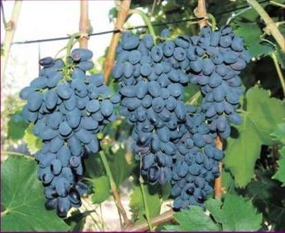 Виноград «Декабрьский»
