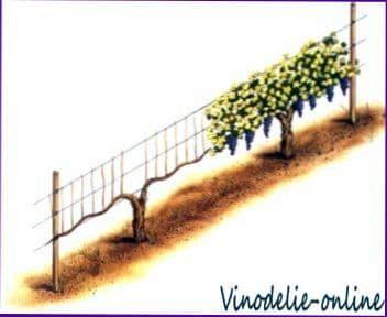 Как выращивать виноград. 3.