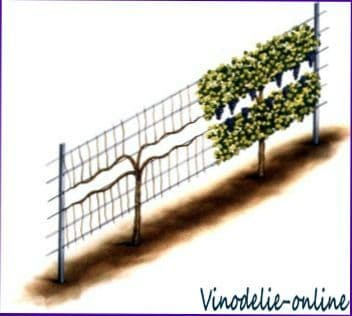 На винограднике