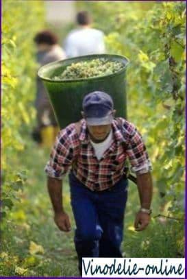 Германия   король винограда