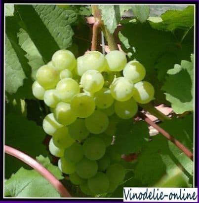 Виноград   дерево жизни