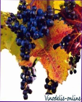 Сорта винограда для производства вин