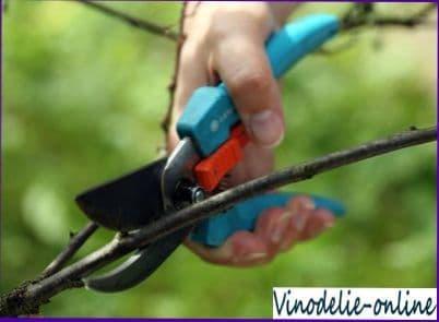 Восстановление кустов винограда, поврежденных морозами