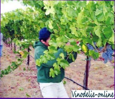 Реконструкция и ремонт виноградника
