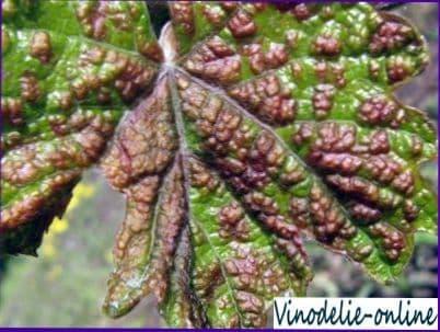 Вредители винограда и борьба с ними