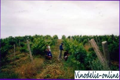 Катаровка кустов винограда