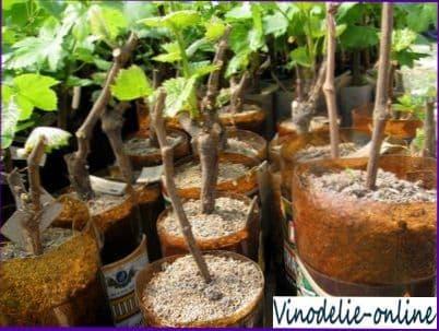 Посадка зеленых саженцев винограда