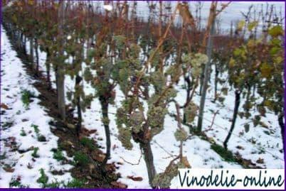 Меры по защите виноградников от морозов