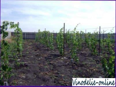 Обработка почвы на винограднике