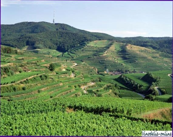 Где поселить виноградник? Оптимальные климатические условия