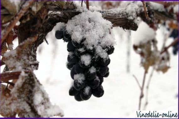 Что такое ледяное вино?