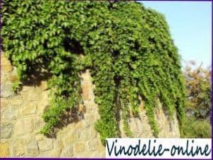 Декоративный виноград.