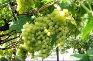 Виноград Августин.