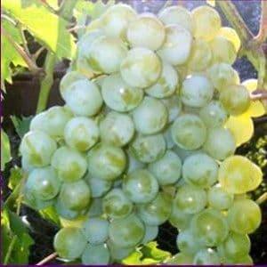Виноград «Дружба»