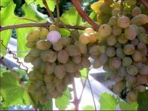 Виноград «Элегант сверхранний»