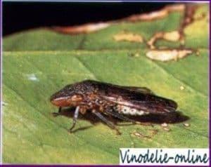 Виноградная цикадка
