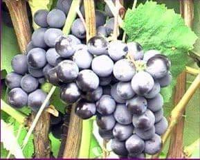 Виноград Красохиной