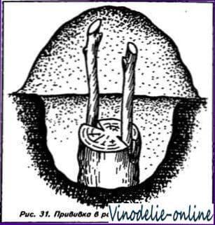 Прививка в подземный штамб